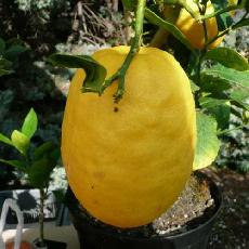 Citrus medica  'Diamante'